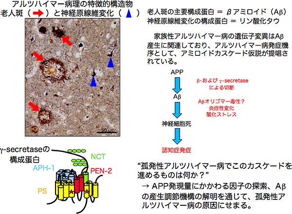 アルツハイマー病|研究内容|神戸大学大学院 医学研究科 生理学・細胞生物学講座 分子脳科学分野